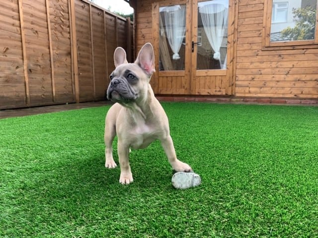 dog urine protected grass
