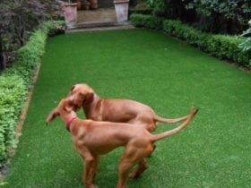 Pets love fake lawns in Chelsea