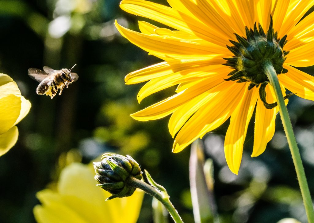 Bees – How to get your garden buzzing