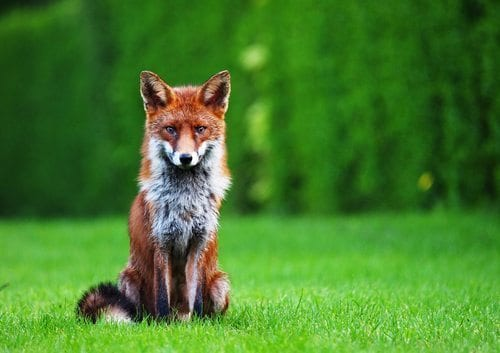 5 Ways to Fend Off Foxes
