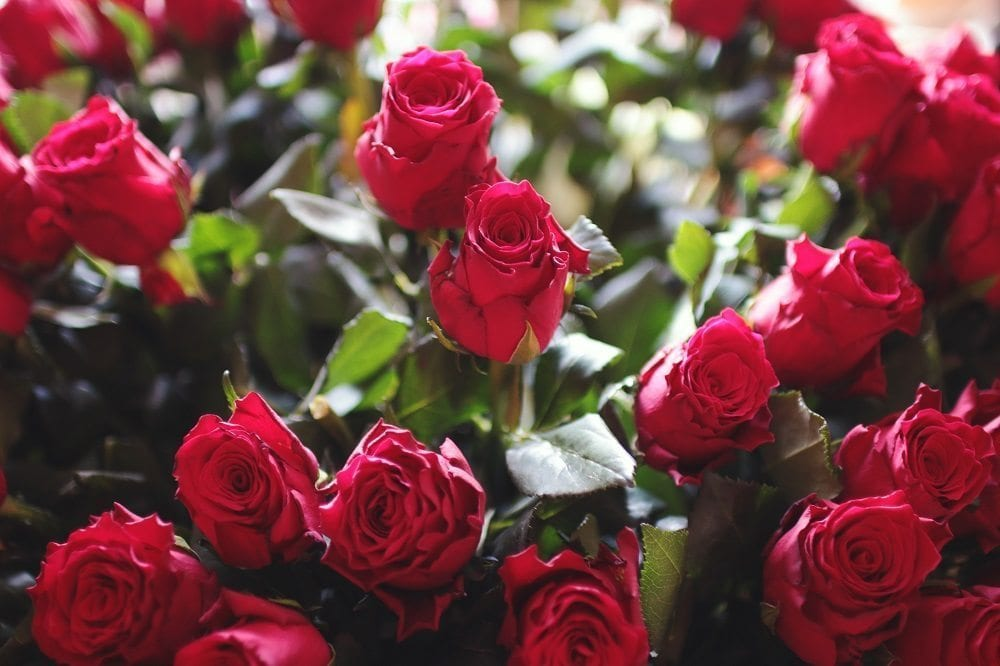 7 Things you Might Not Know about Roses Trulawn