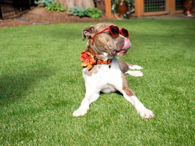 5 Great Reasons to get Artificial Grass if you have Pets